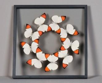 Cabinet de curiosités - Papillons encadrés sous verre